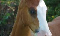 Happle Juice Sottier – Welsh Cob-