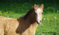 Iwok du Sottier – Welsh Cob-