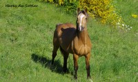 Fénomen du Sottier – Welsh Cob-